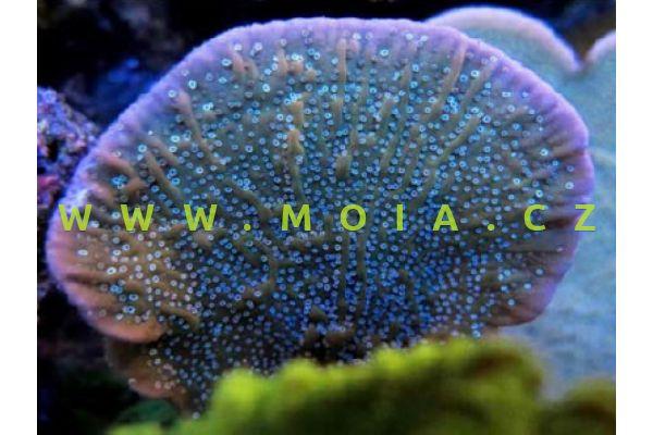 """Montipora mactanensis  """"Purle Rim Cap"""""""