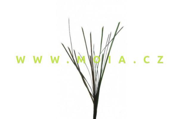 Eel Grass - Zostera sp. 5mm x 67cm