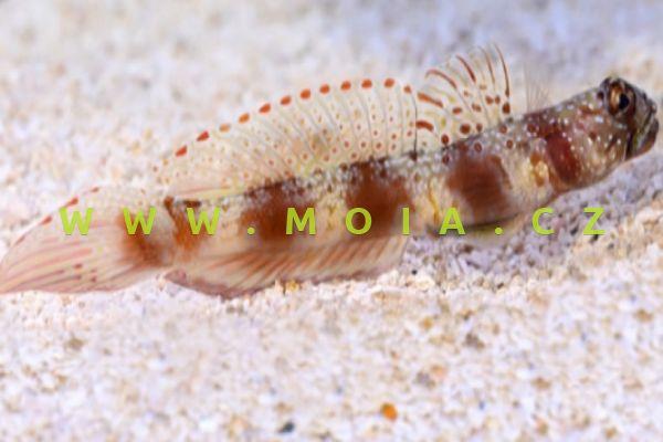 Amblyeleotris latifasciata