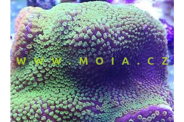 """Montipora sp. """"DickMan green"""""""