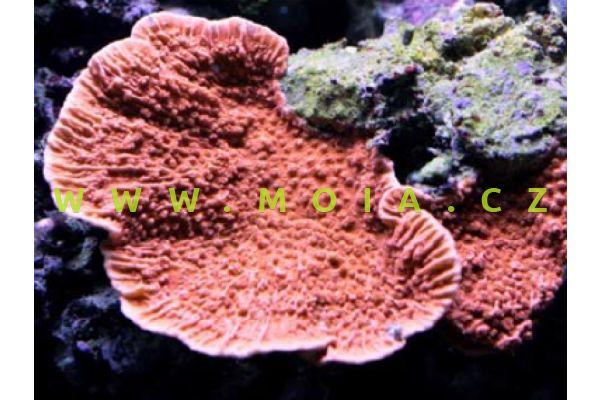 """Montipora capricornis """"orange/red"""""""