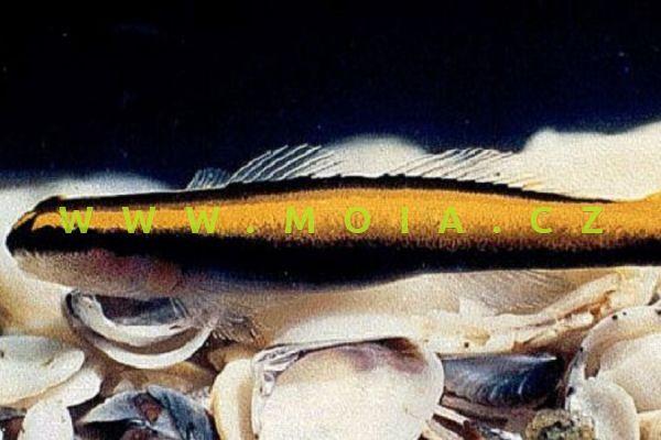 Elacatinus figaro