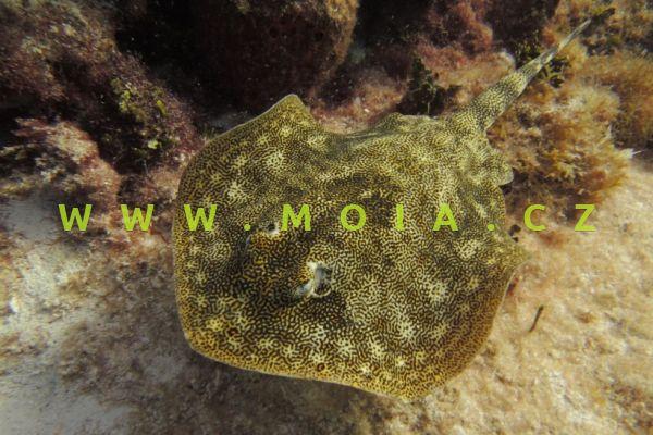Urobatis jamaicensis