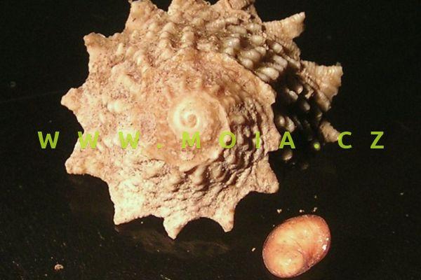Astralium phoebium