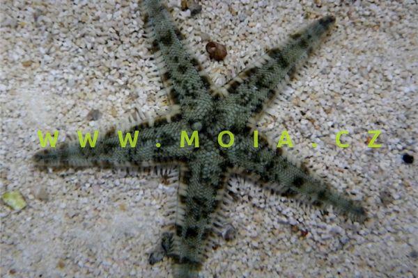 Archaster angulatus