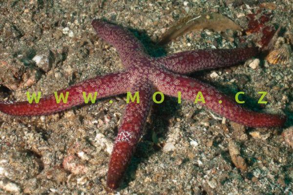 Ophidiaster cribrarius
