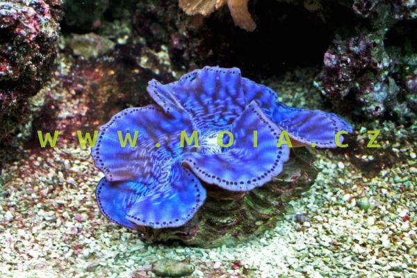 """Tridacna maxima  """"color"""""""