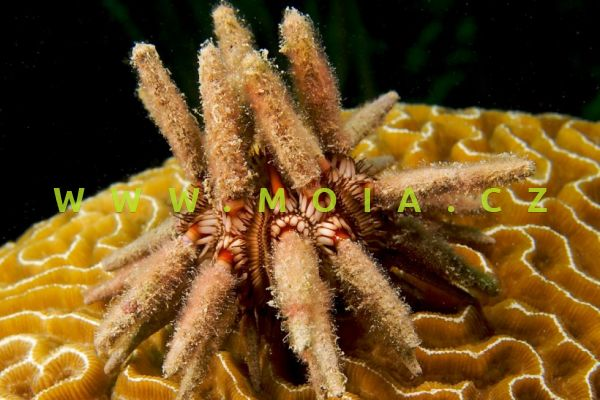 Eucidaris tribuloides