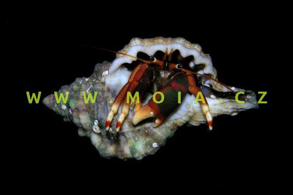 Calcinus tibicen