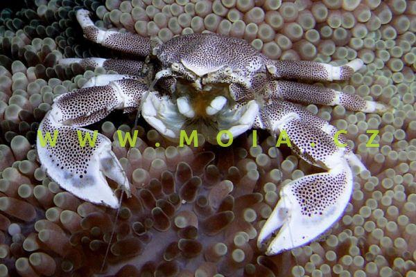Neopetrilistes maculatus
