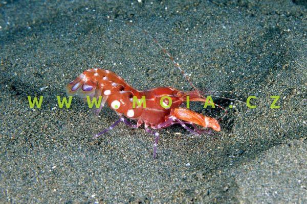 """Alpheus armatus """"Caribbean"""""""