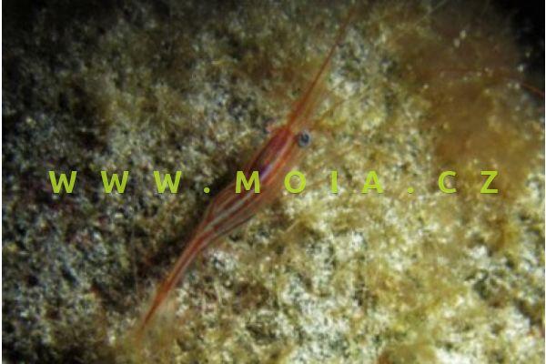Plesionika narval