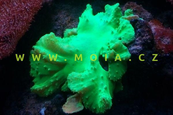 "Sinularia dura ""green"""