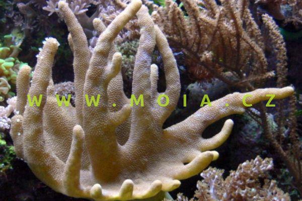 """Lobophytum sp. """"devil finger"""""""