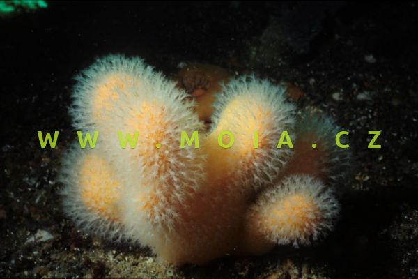 """Alcyonium sp. """"red"""""""