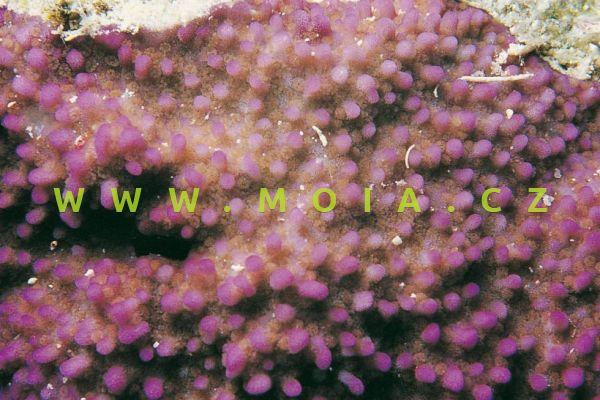 "Montipora tuberculosa ""pink, green polyps"""