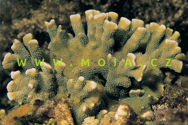 "Montipora digitata ""green"""