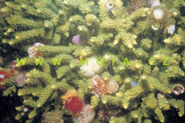 "Acropora tumida ""green"""