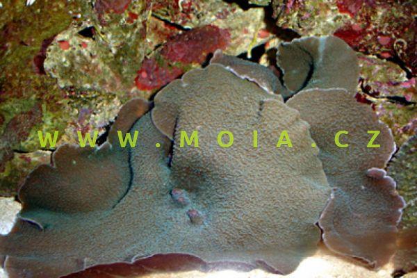 Rhodactis mussoides