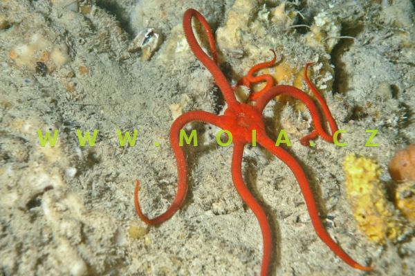 """Ophioderma squamosissima """"red"""""""