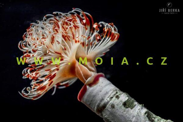 """Protula bispiralis """"red-white"""""""