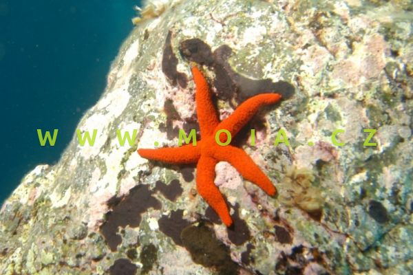 """Echinaster luzonicus """"ultra red"""""""