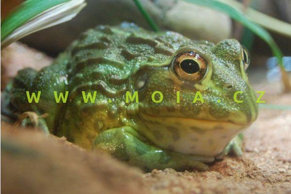 Pyxicephalus adspersus – African Bullfrog