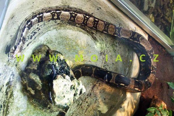 Boa constrictor – Boa Constrictor