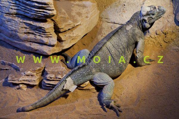 Cyclura cornuta – Rhino Iguana