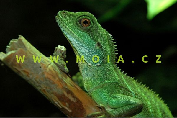 Physignathus cocincinus – Asian Water Dragon