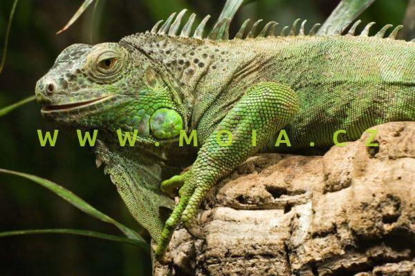 Iguana iguana – Green Iguana