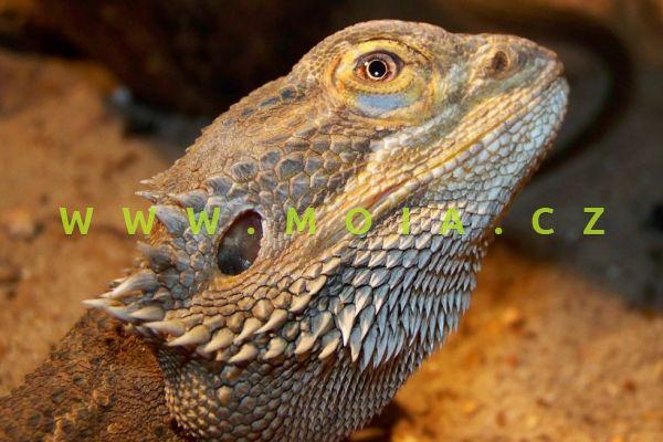 Pogona vitticeps – Bearded Dragon