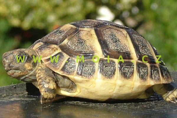 Testudo hermanni – Hermanns Tortoise
