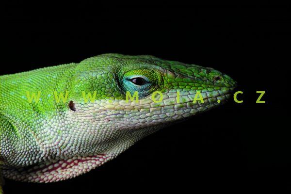 Anolis carolinensis – American Green Anole