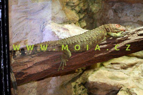 Dracaena guianensis – Northern Caiman Lizard