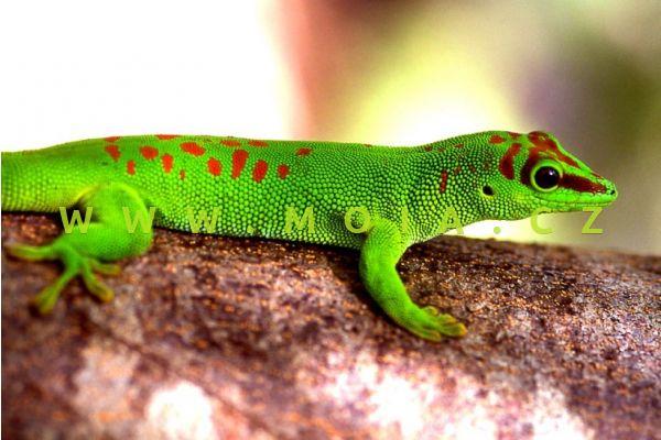 Phelsuma madagascariensis grandis – Giant Day Gecko