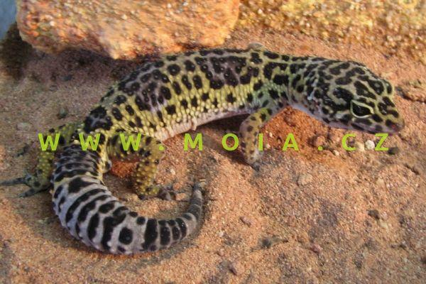 Eubublepharis macularius – Leopard Gecko