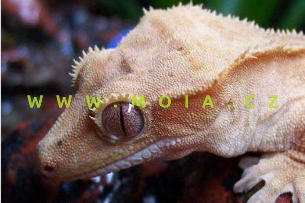 Rhacodactylus ciliatus – Crested Gecko