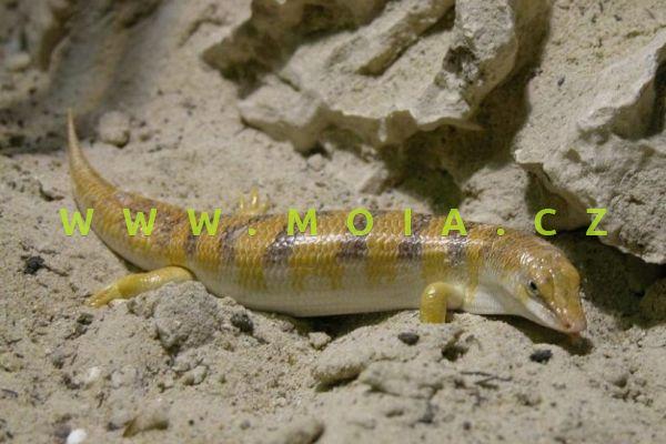 Scincus scincus – Sandfish